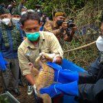 12 Ekor Kukang Jawa Dilepasliarkan  Bupati Ciamis Di Cagar Alam Nusa Gede Panjalu